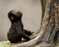 Infant gorilla