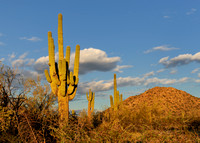 Saguaro at twilight