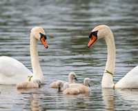 Cygnets with mother