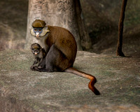 Red-tailed monkeys