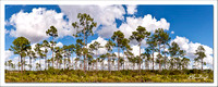 Long pines (panoramic)