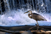 Blue heron in front of waterfall