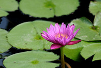 Day-blooming tropical waterlily