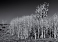 Bare aspens (B&W version)