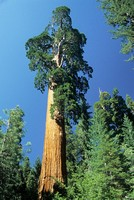 Towering redwood