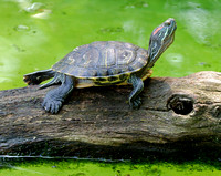 Turtle stretching on log