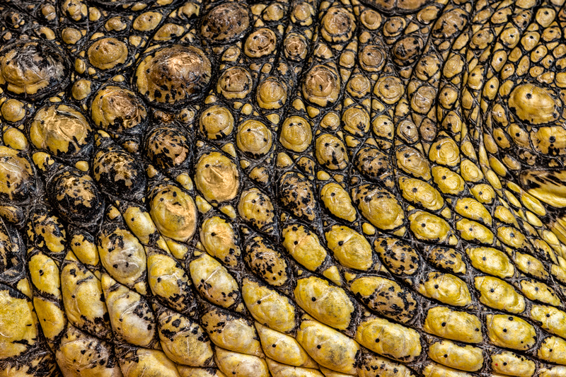 Glenn Nagel Photography Reptile Fest Crocodile Scales