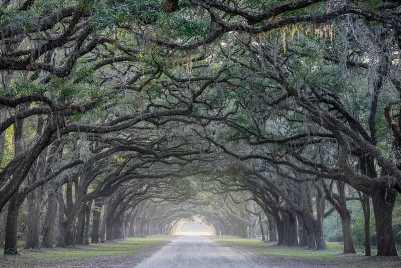 Road lined with oak trees