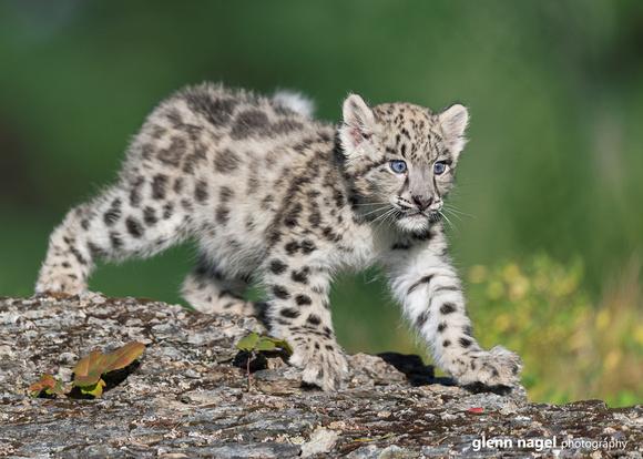 Snow Leopard Kitten